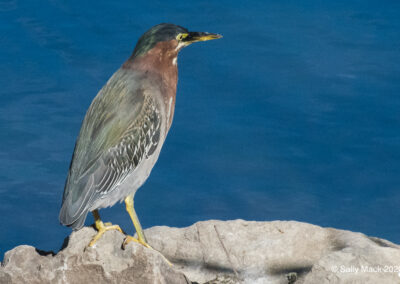 I'd never seen a green heron that looked green until I saw this one, proving that if the light is just right, they are, indeed, green (or greenish).