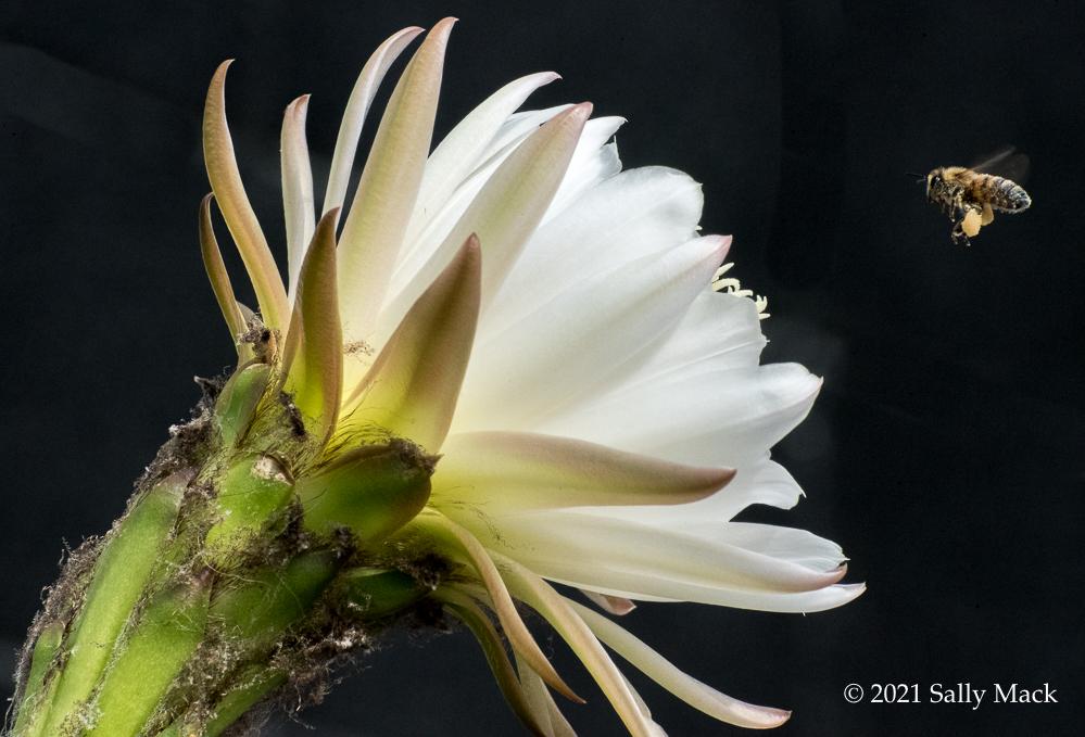 Cactus flower, Vallejo CA (3484)