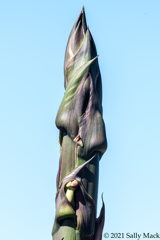 Agave buds and flower, Vallejo CA 5876