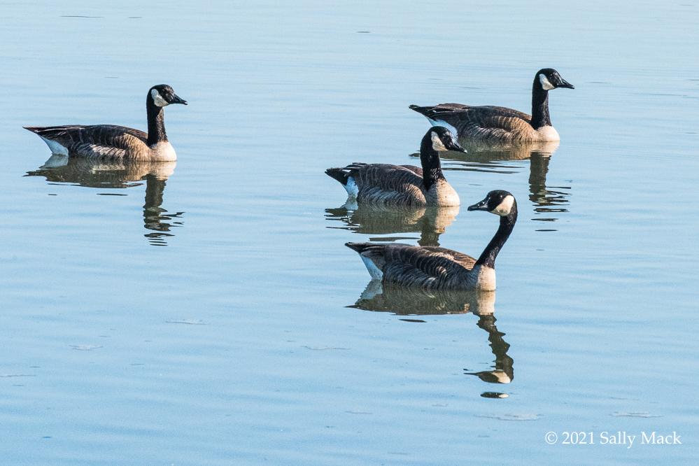 Canada geese, Vallejo CA 0687