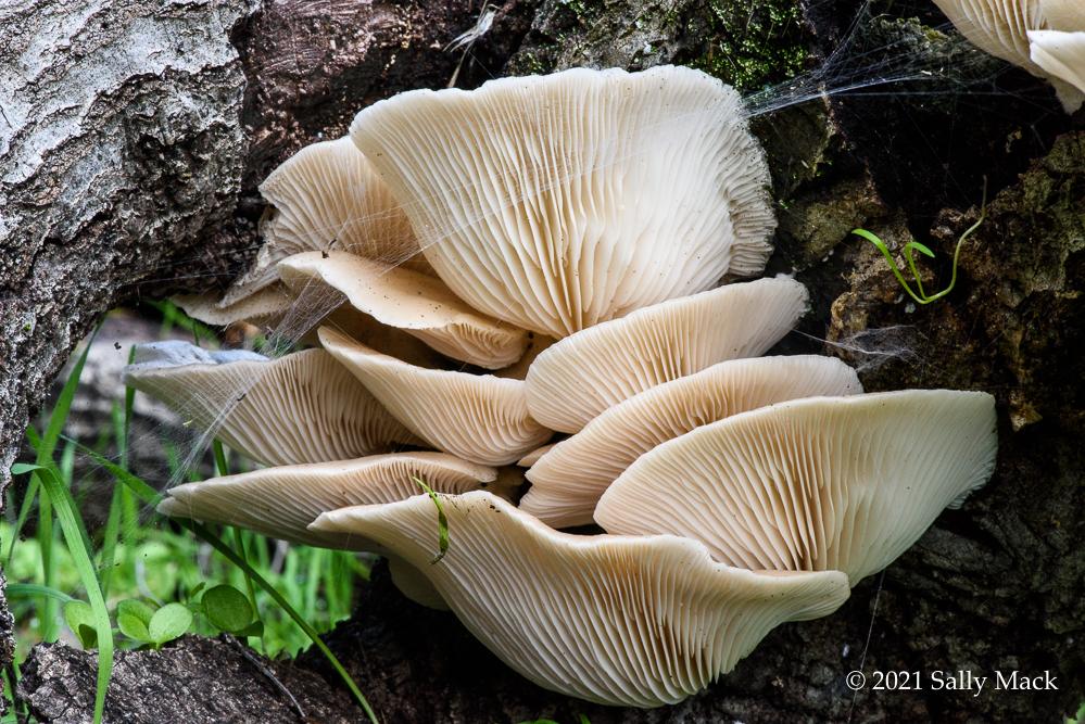 Oyster mushrooms, Mare Island CA (3464)