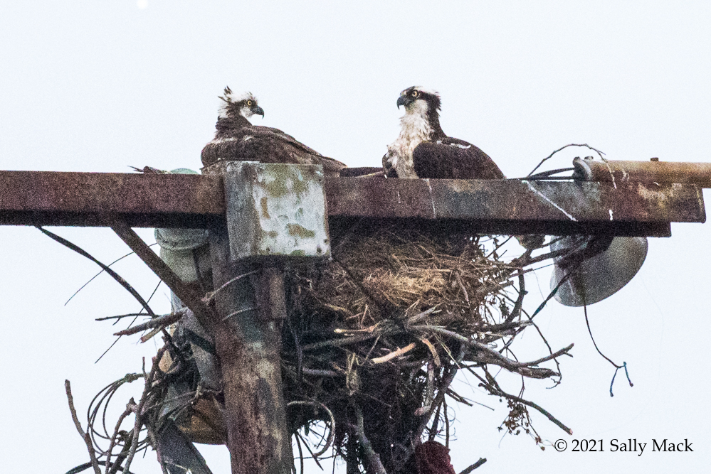 Osprey adults in nest, Mare Island CA 6162