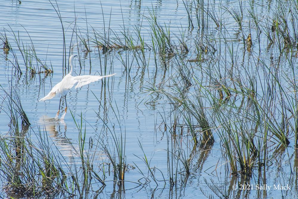 Egret/ripples, Vallejo CA 3851