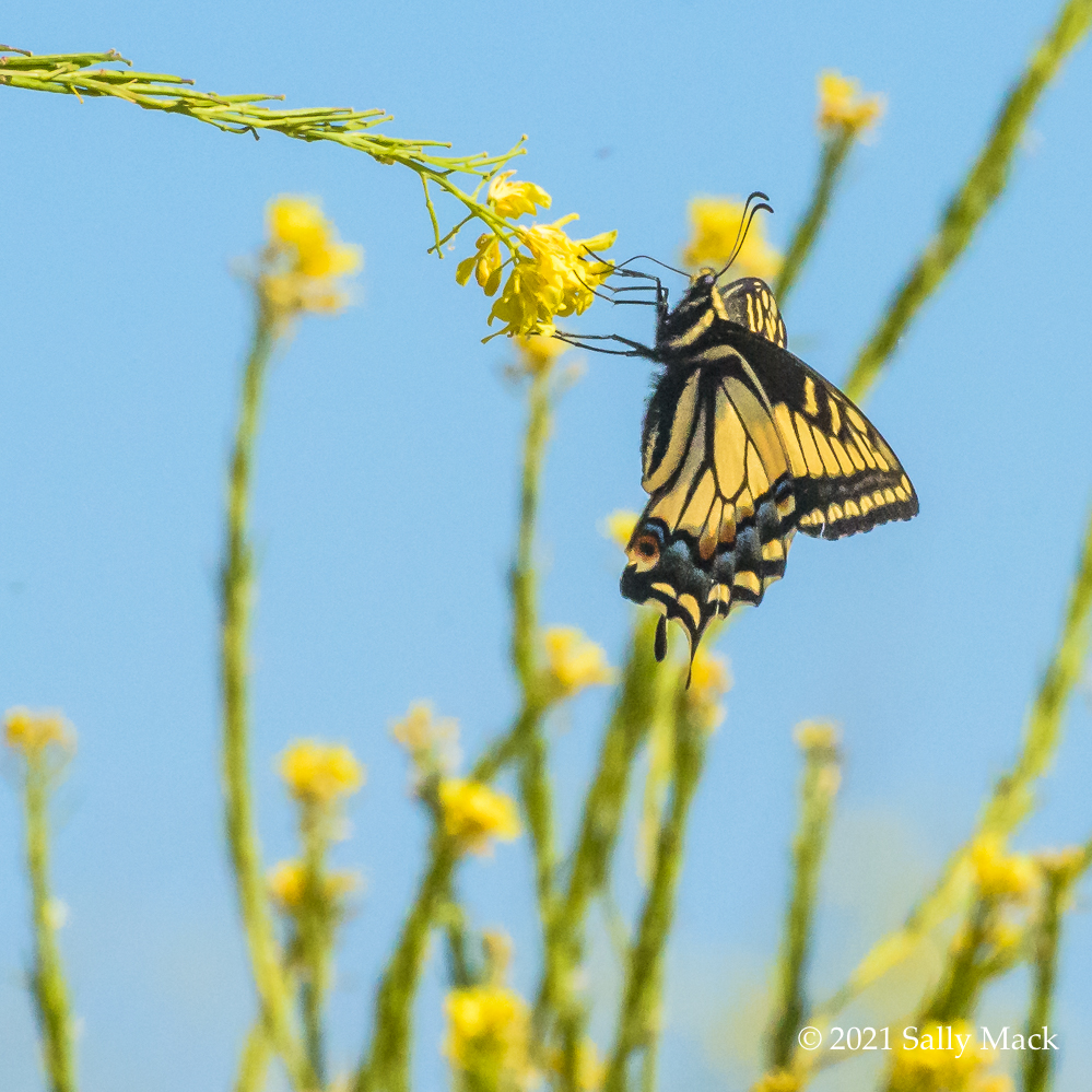 Anise swallowtail, Mare Island CA 0136
