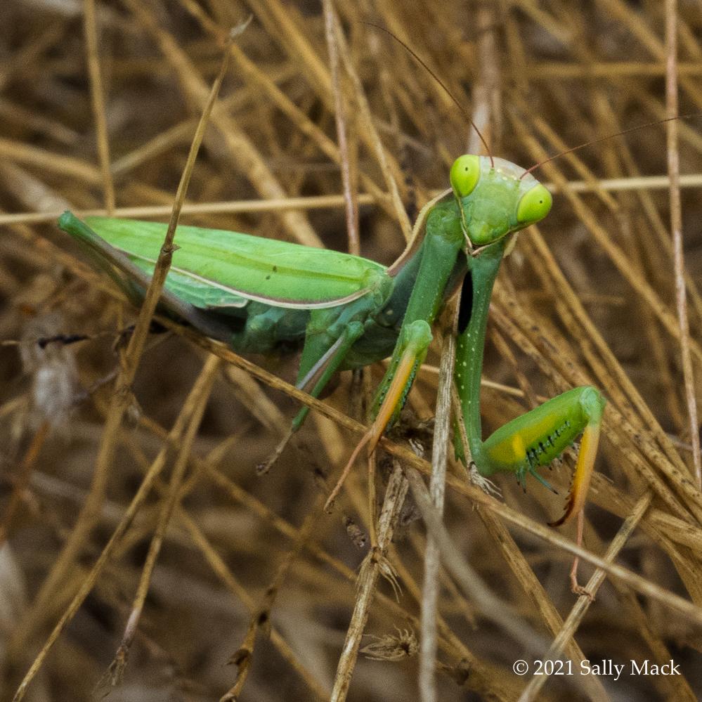 Mantis, Vallejo CA 3989