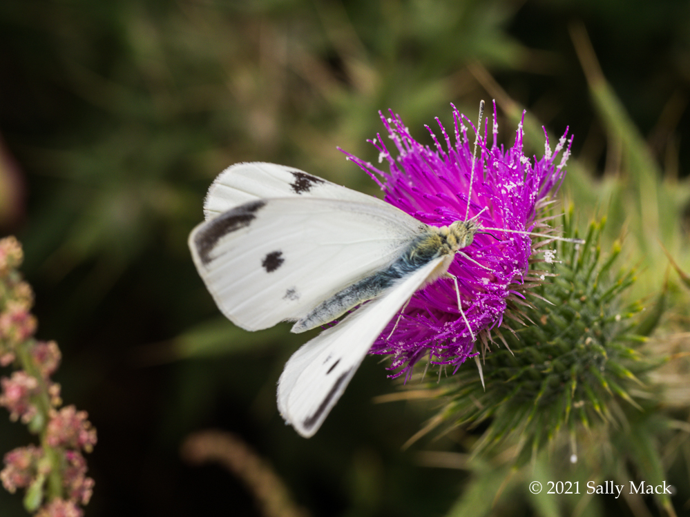 Cabbage white butterfly, Mare Island CA 8240051